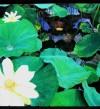 Lotus-july2006