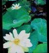 Lotus2006